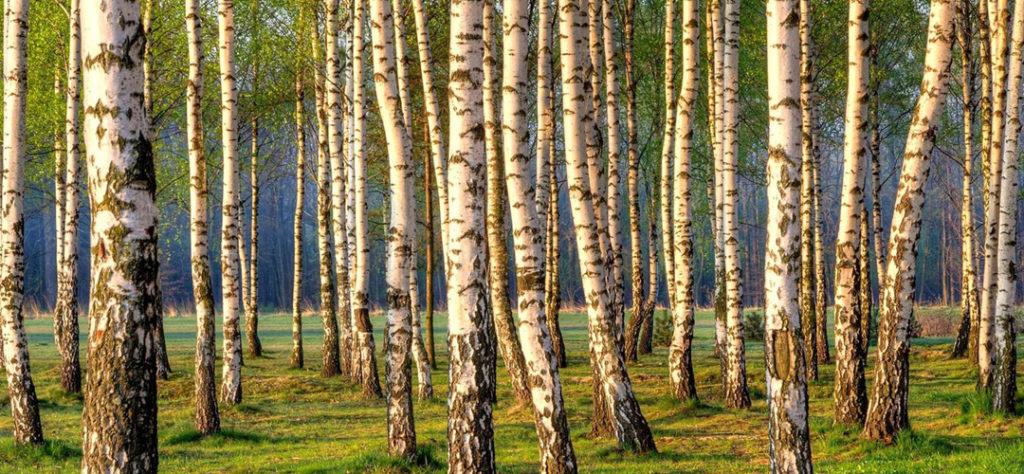 Majestueuse forêt de Bouleau